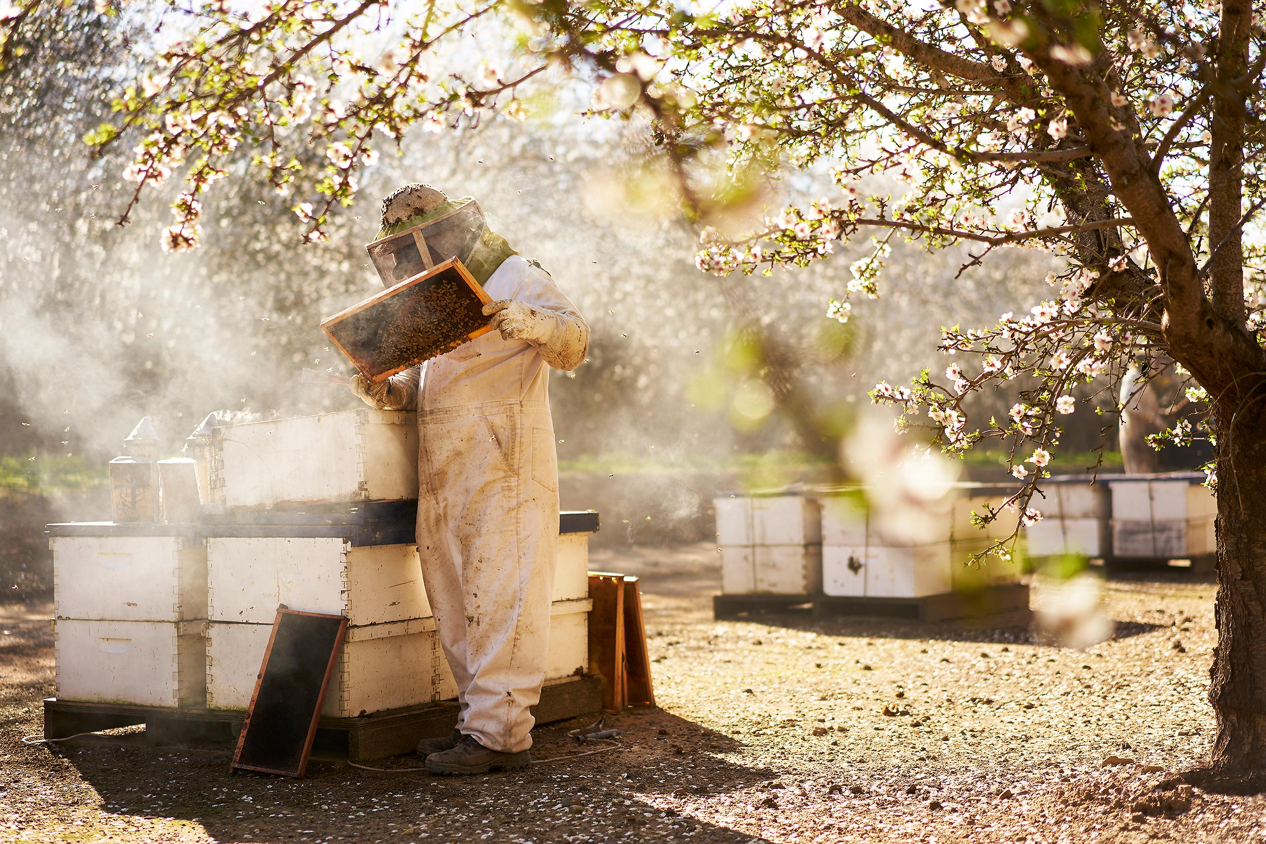 almond_bloom0982-farming-beekeeping